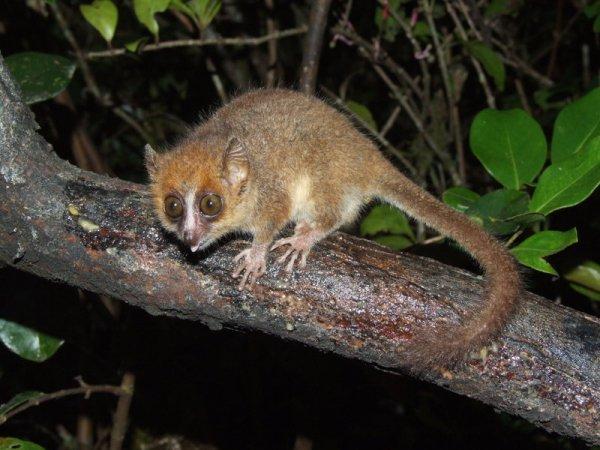 Mouse Lemur Fact Sheet