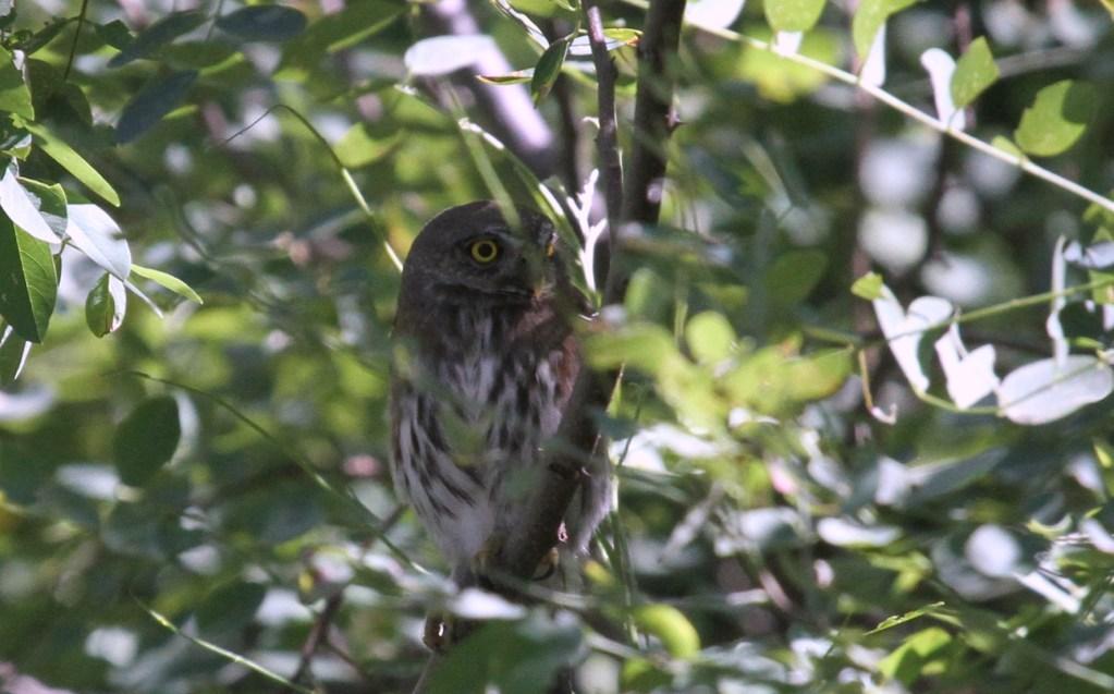 Northern Pygmy Owl Flickr GregTheBusker ()