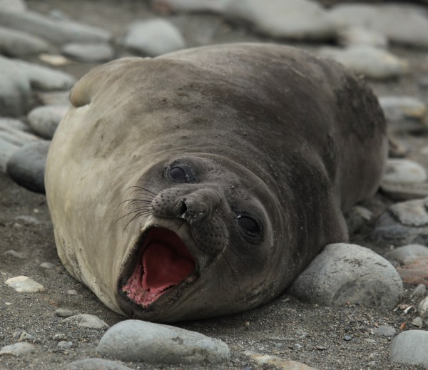 Southern Elephant Seal Fact Sheet
