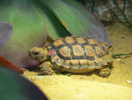 Speckled Padloper Tortoise Fact Sheet