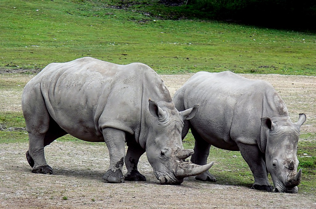 White rhinoceros ()