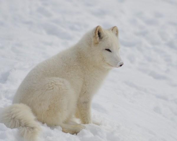 Dashing Through the Snow The Amazing Arctic Fox