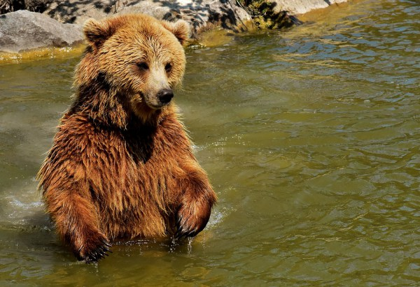 Hello there Its the Brown Bear