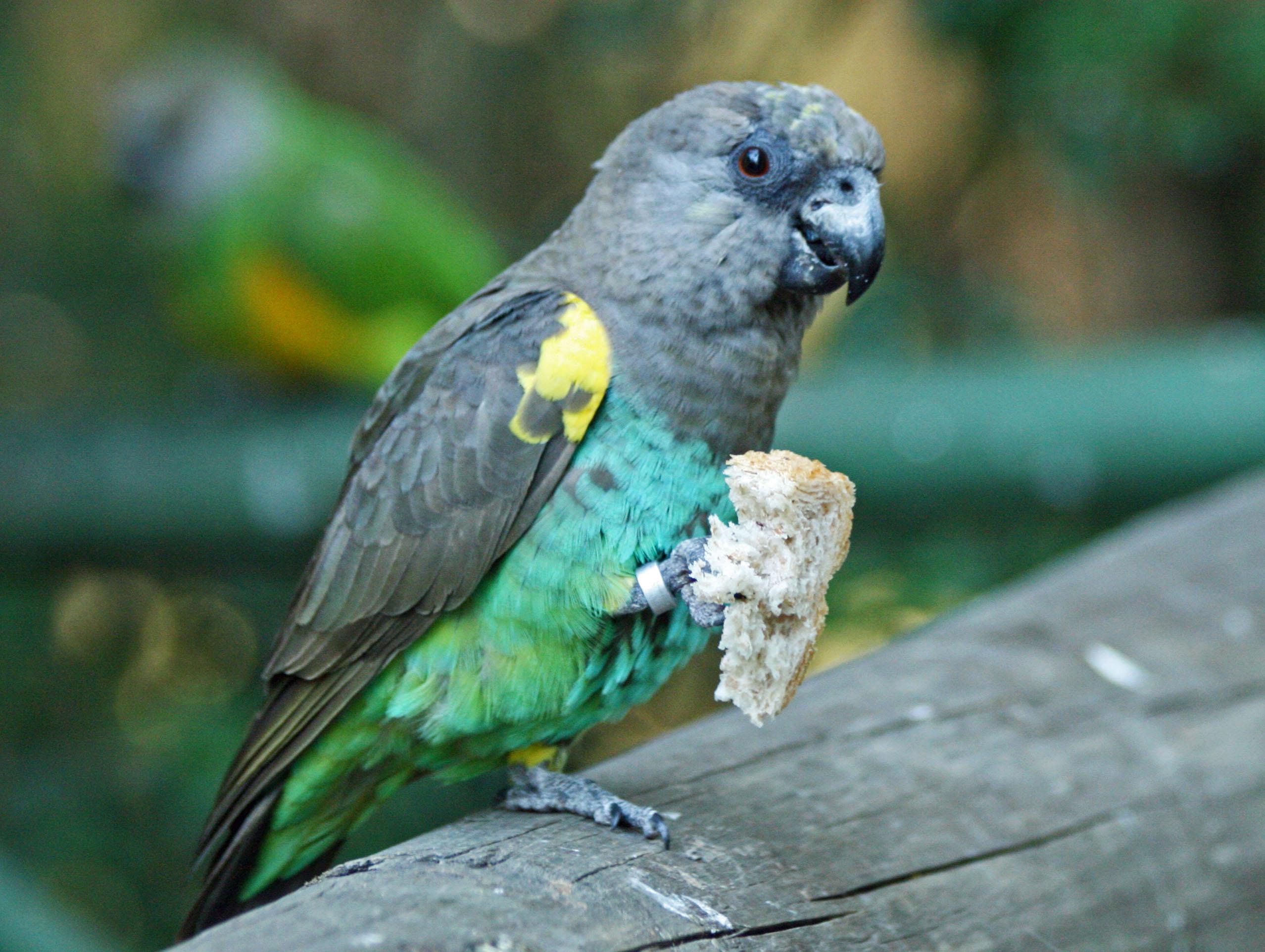 Poicephalus meyeri Birds of Eden, Western Cape, South Africa