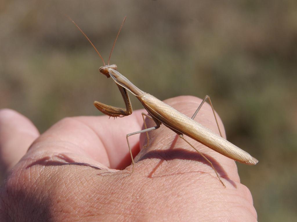 Praying Mantis Information Going Back To Cali The California Mantis