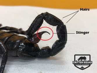 Scorpion stinger and hairs
