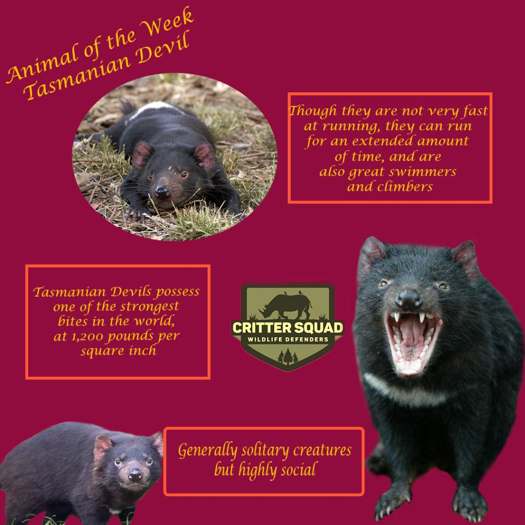 animal of the week tasmanian devil insta