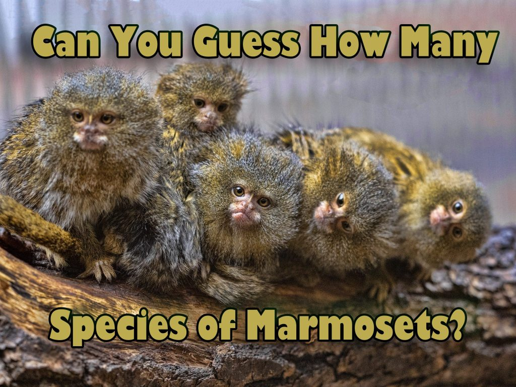Satisfied family with cubs, Pygmy marmoset, Callithrix pygmaea n
