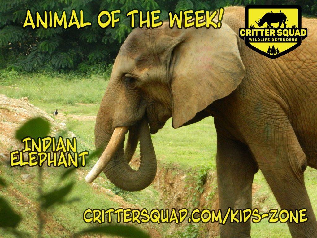 Indian Elephant aotw