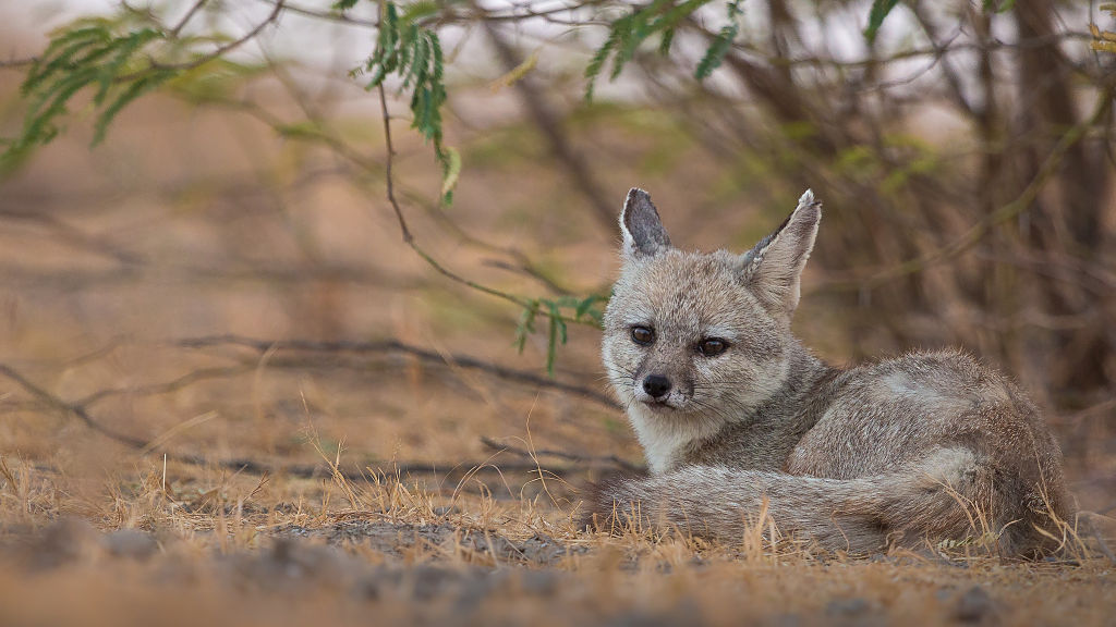 px Indian Fox at Little Rann of Kutch