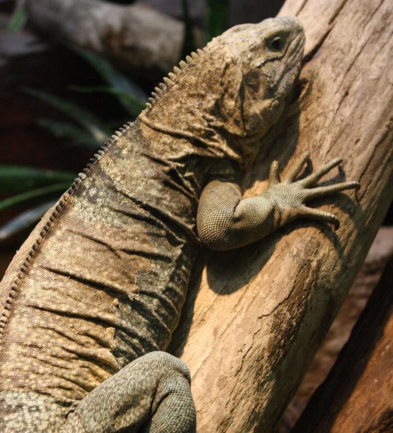 px Jamaican iguana on tree