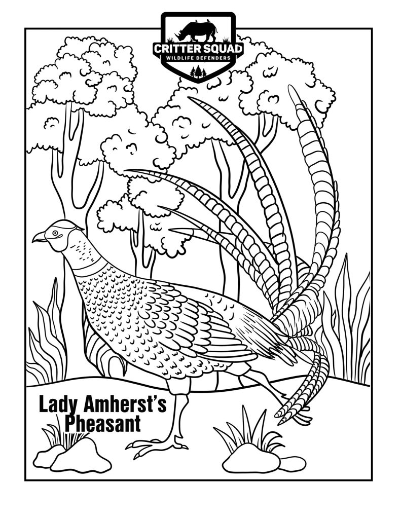 lady amhersts pheasant