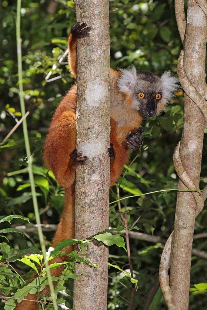 px Black lemur (Eulemur macaco) female