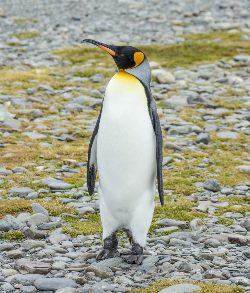 SGI  South Georgia (Fortuna Bay)–King penguin (Aptenodytes patagonicus)