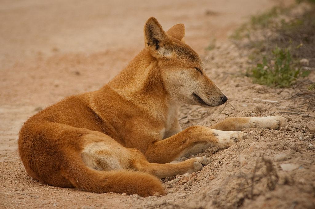 px Nullarbor Dingo