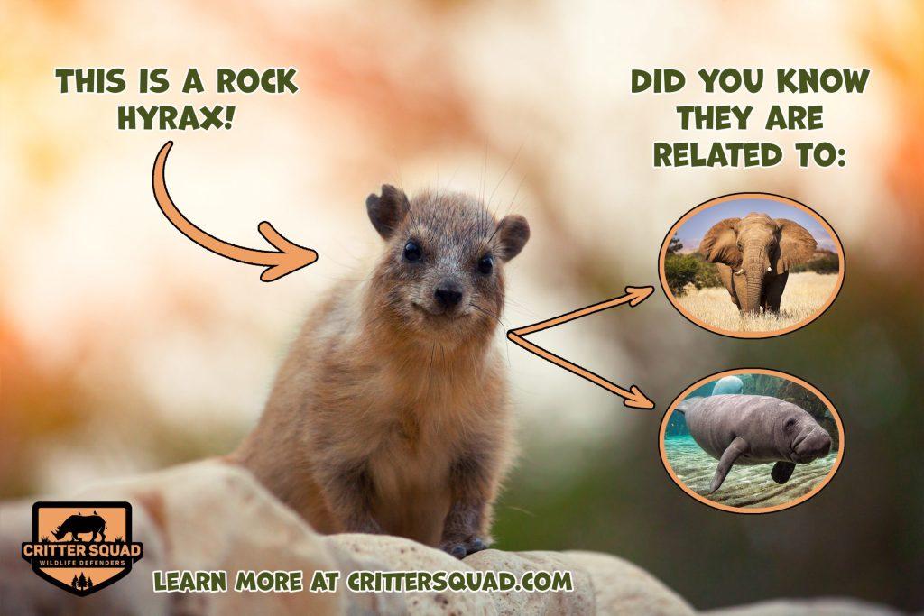 Rock hyrax walking on the rock