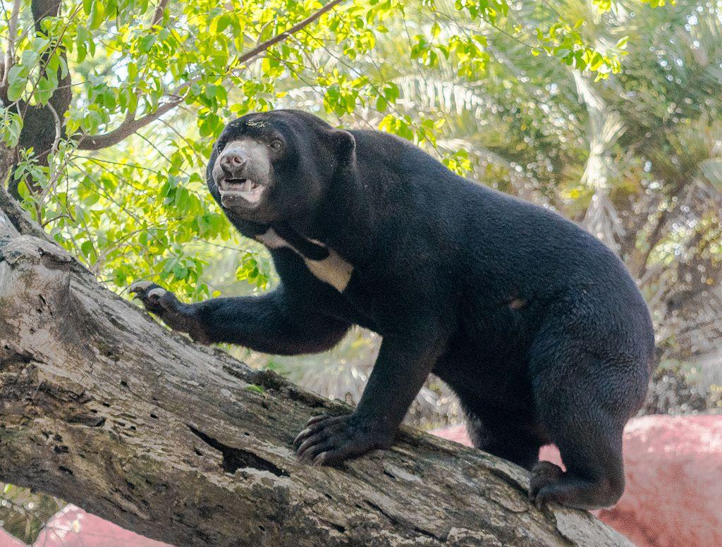 Himalayan black bear climbing