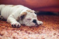 Remove Dog Urine From Carpet With The Help of a ...