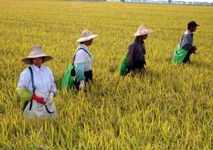 """M5s e la guerra al riso cambogiano: """"Ha messo in ginocchio i produttori italiani"""""""