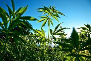 """Rimini, cannabis ai dipendenti dell'azienda: """"Così sono più rilassati e lavorano meglio"""""""
