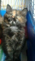 Muffin gattina di Ossona