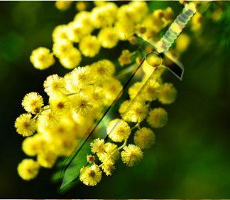 festa della donna mimosa spada