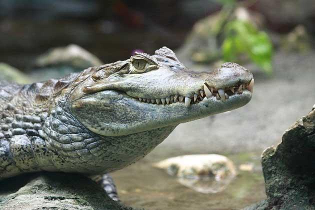 Roma Quartiere Boccea Un caimano dagli occhiali ed una tartaruga alligatore in casa del