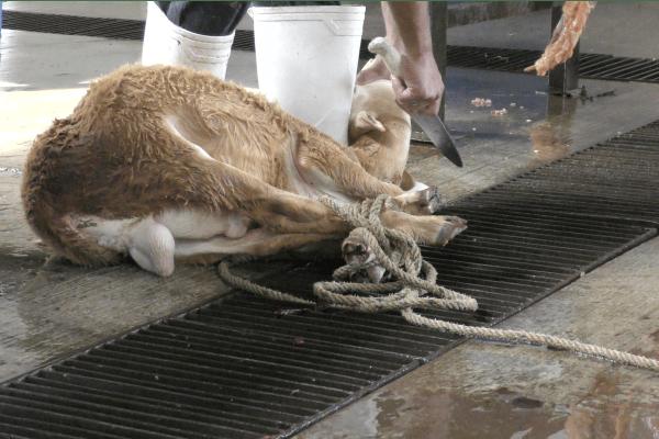 Igualdad Animal: ¿Y la crueldad que existe en los rastros del país? | La Crónica de Hoy - Jalisco