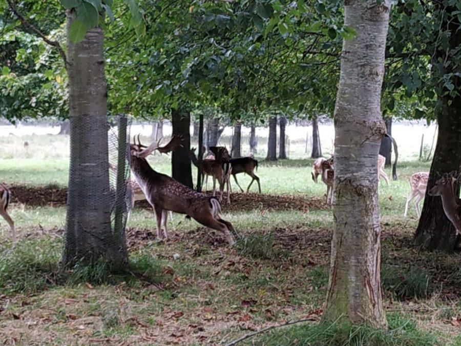 Phoenix Park Dublín, ciervos