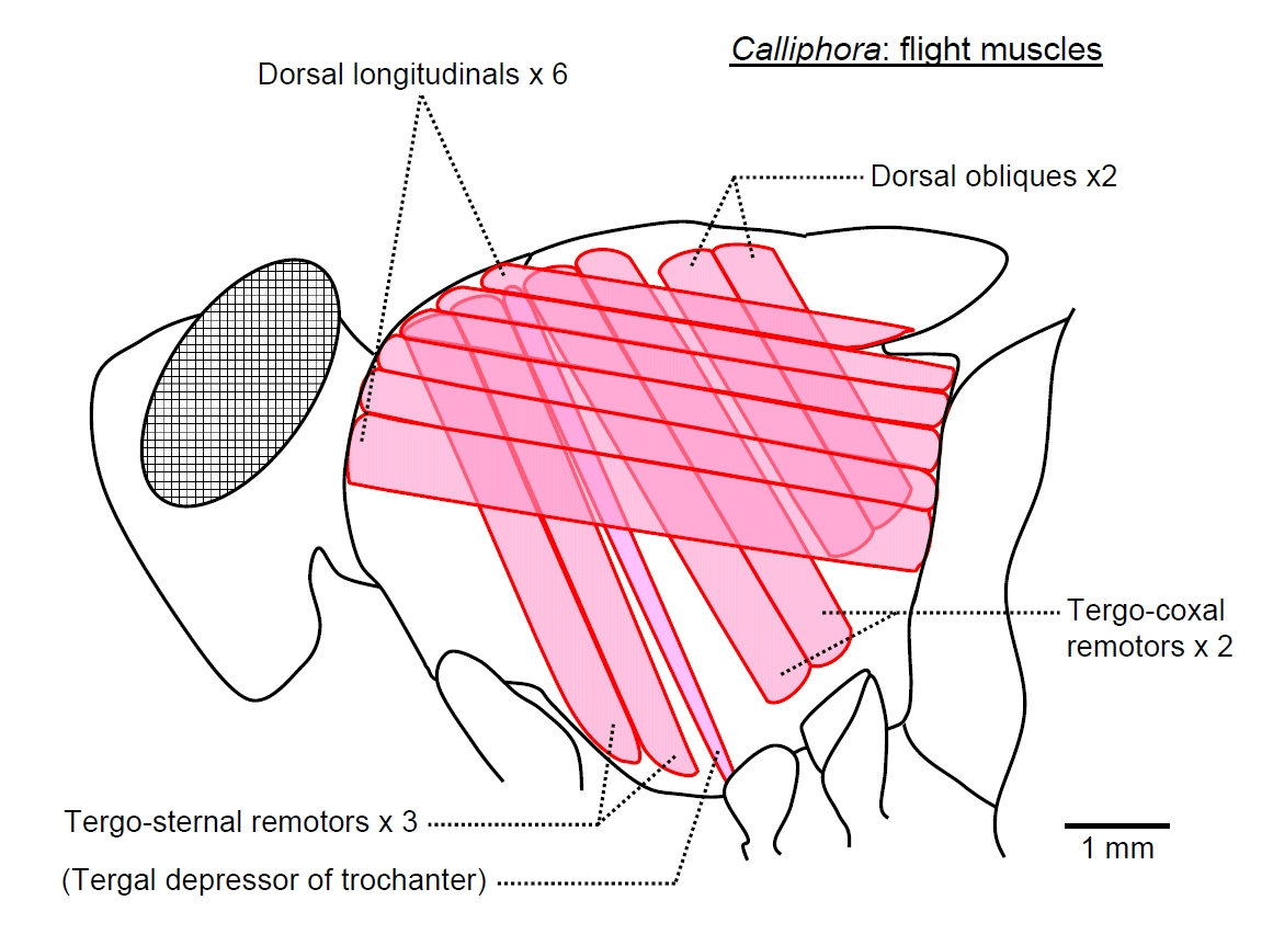 muscle diagram dorsal ford f650 wiring insect locomotion 2 calliphora thorax muscles side view