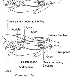 milkwort floral anatomy diagram [ 1996 x 2833 Pixel ]
