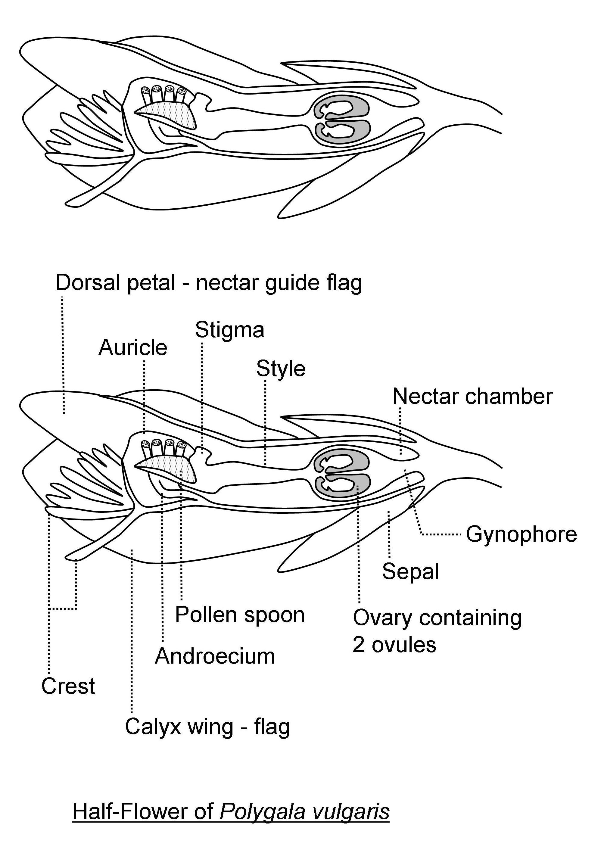 hight resolution of milkwort floral anatomy diagram