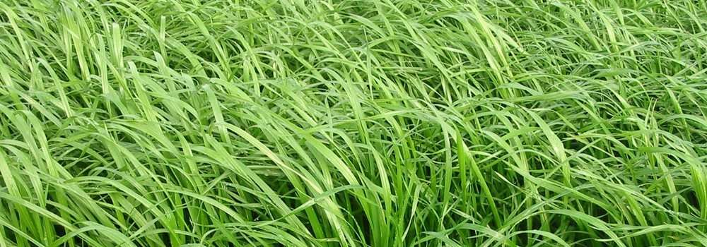 Ryegrass Images