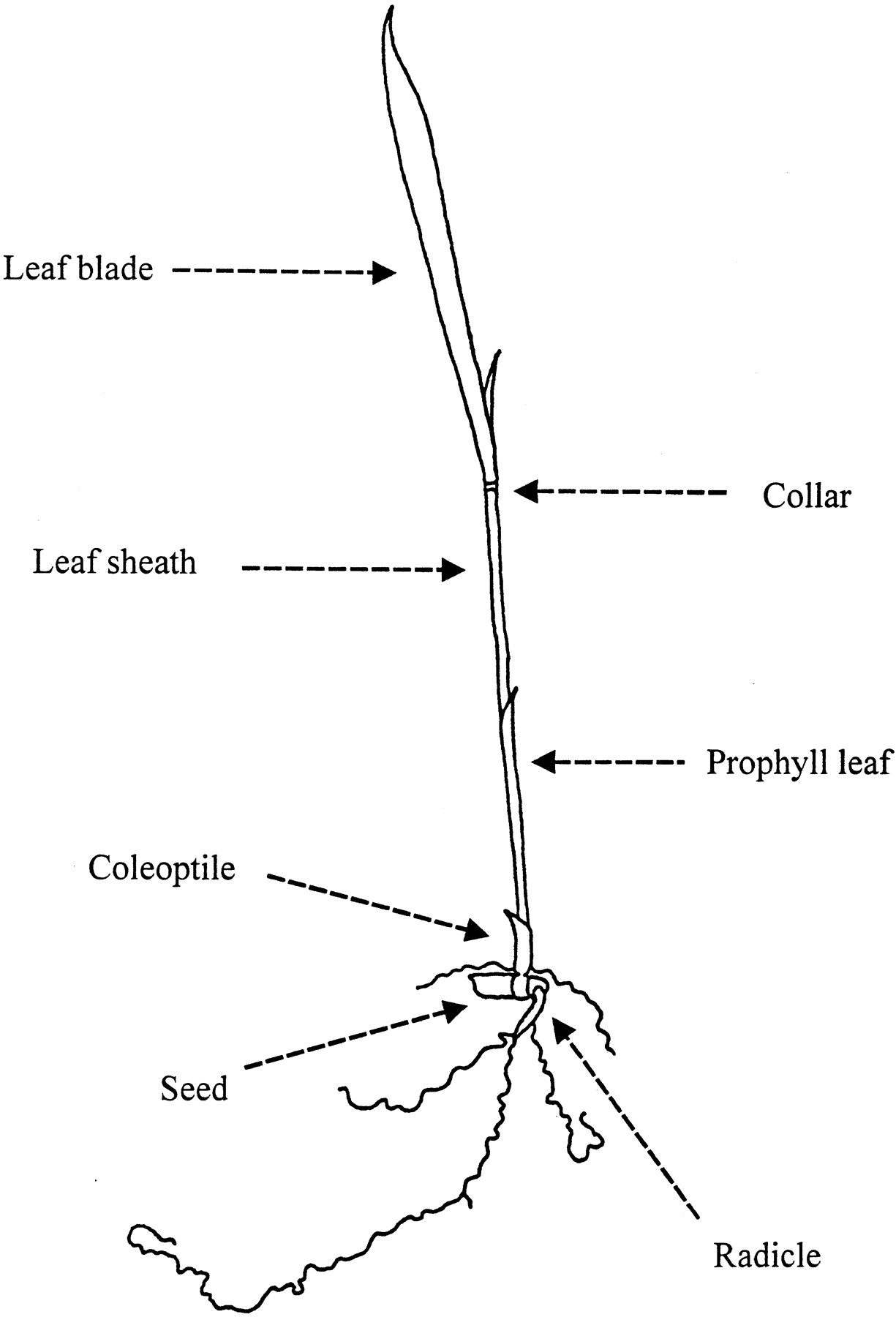 Rice Growth Stage