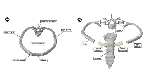 small resolution of the thoracic vertebrae and other thoracic bones