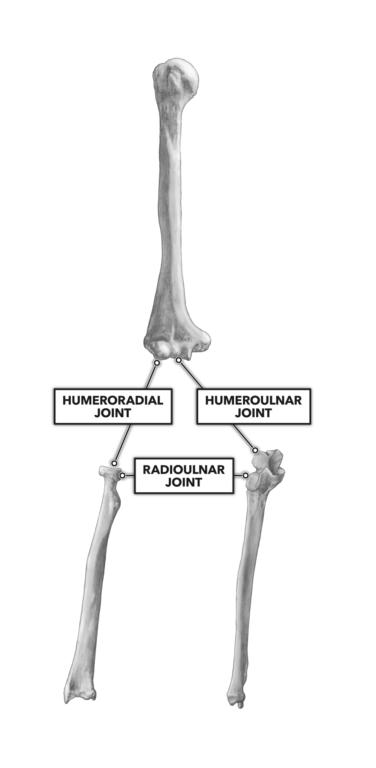 CrossFit | Bones of the Elbow