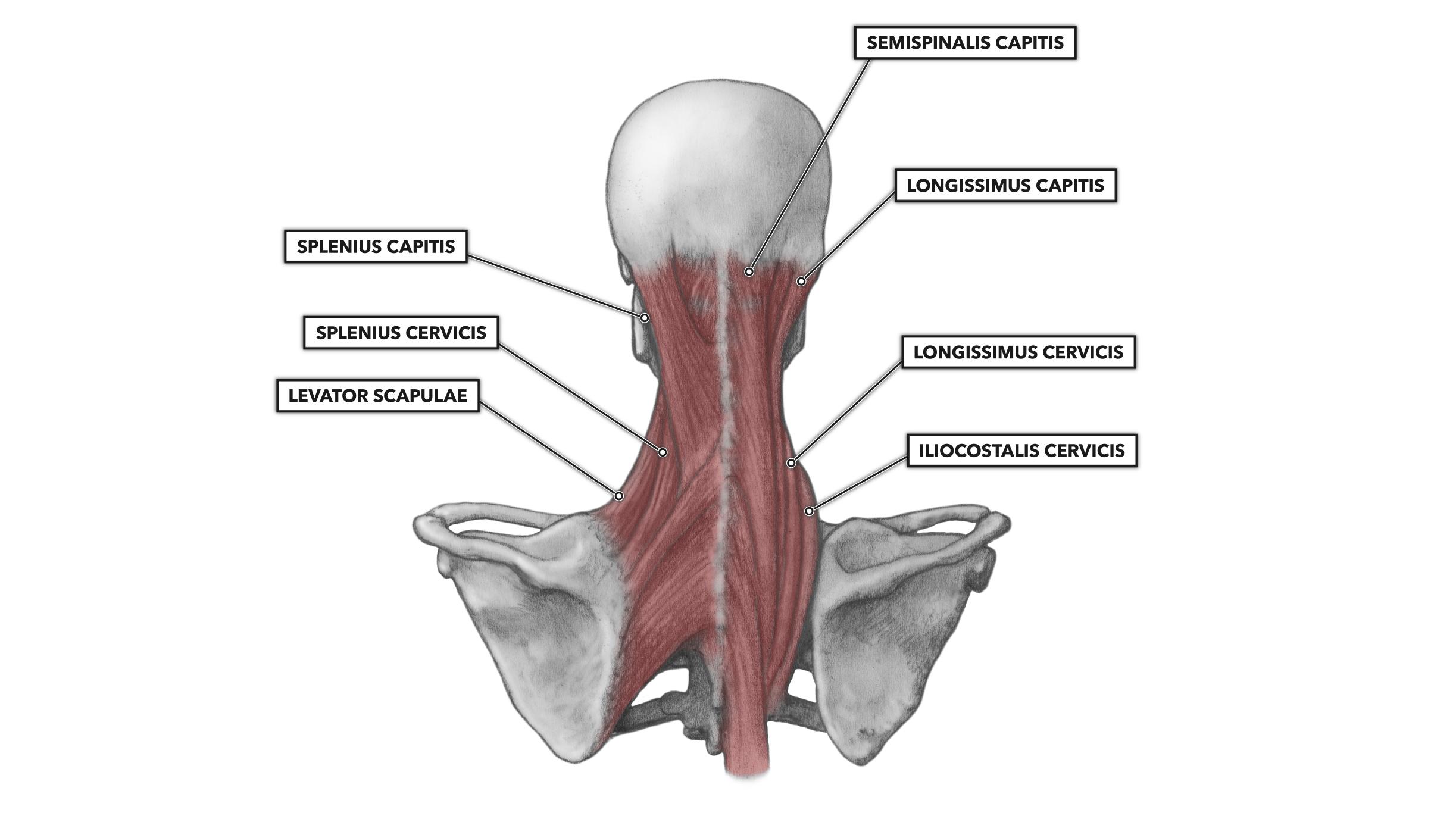 CrossFit   Cervical Muscles Part 2