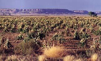 Hopi dry farmed field.