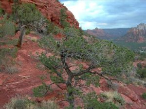 Spirit of the Juniper Tree
