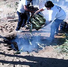 corn pit roast happens in fall-- this is an ancient preservation method for sweet corn. Photo by Sandra Cosentino