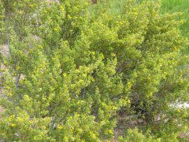 Crecent Verde Valley, AZ blooms