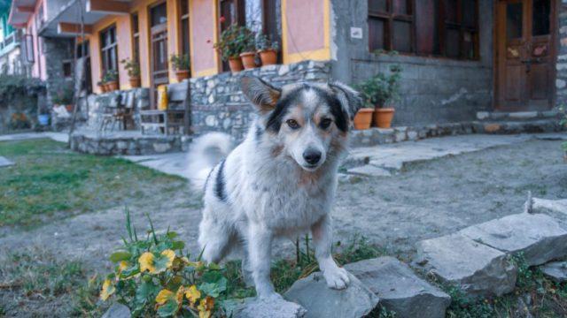 Himachali Dog