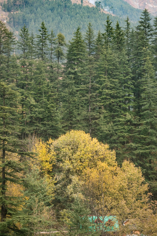 Tall Oak Trees in the Jibhi Himachal