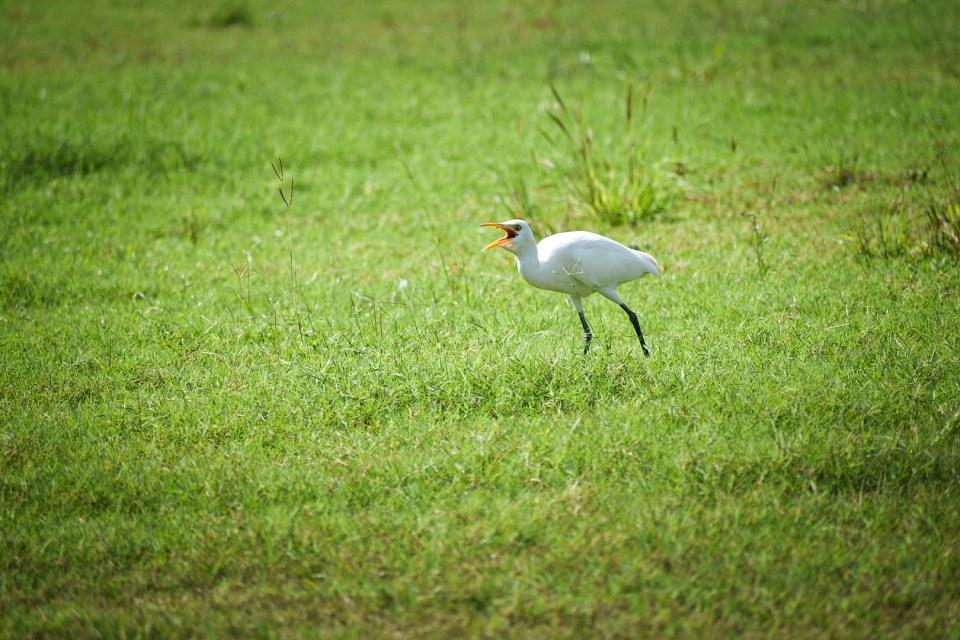 Egret in Goa