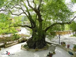 شجرة نبي الله موسى عليه السلام ... لواء... - سورية السياحية ...