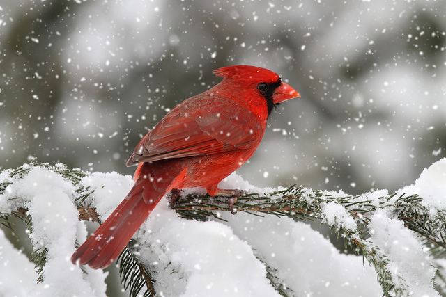 Image result for cardinal snow