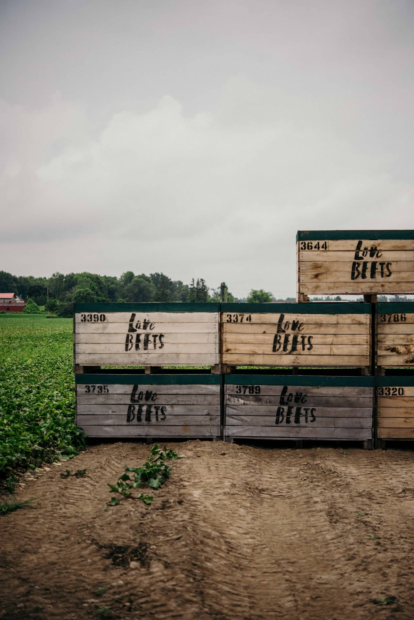 Love beets crates filled with beets at their farm in new york