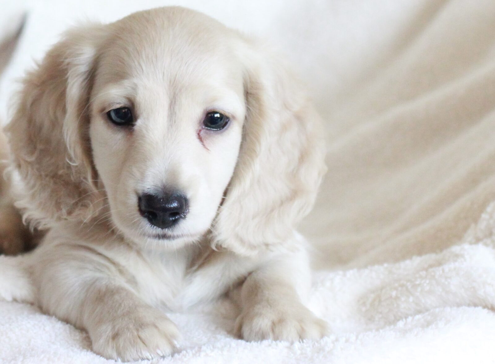 About English Cream Dachshunds Crown Dachshunds