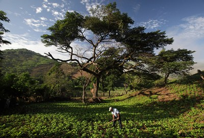 Early in the morning Isabel Salgado Gutierrez cleans his bean crop field in his lands in, Matagalpa, Nicaragua. Photo by Oscar Leiva/Sliverlight for CRS