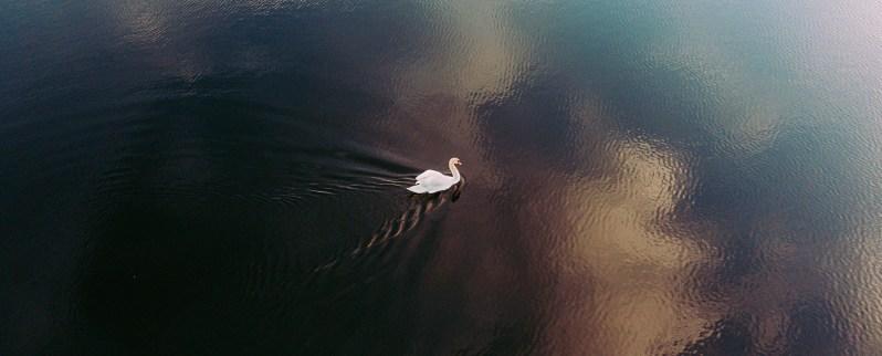 Swan Swimming